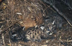 Florida Panther Cubs