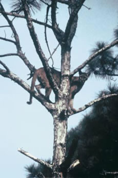 Florida Panther in Tree