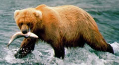 Katmai Grizzly Bear with Fish