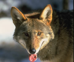 Red Wolf Panting Photo