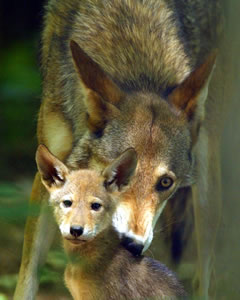 Red Wolf with Pup photo