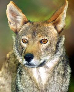 Now the Red Wolf