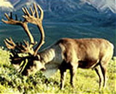 Caribou Feeding Photo