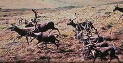 Caribou Herd Running Photo