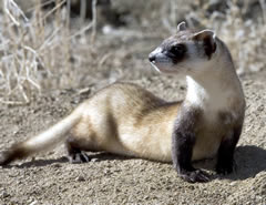 Black footed ferret picture