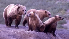 Grizzly Bear Group