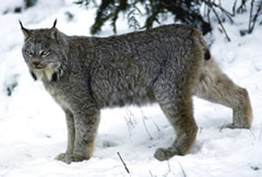 Canada Lynx standing picture